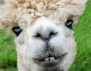 Eine tolle Geschenkidee – die Alpaka Decke